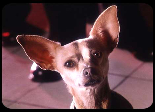 taco bell chihuahua name 301 moved permanently 7875