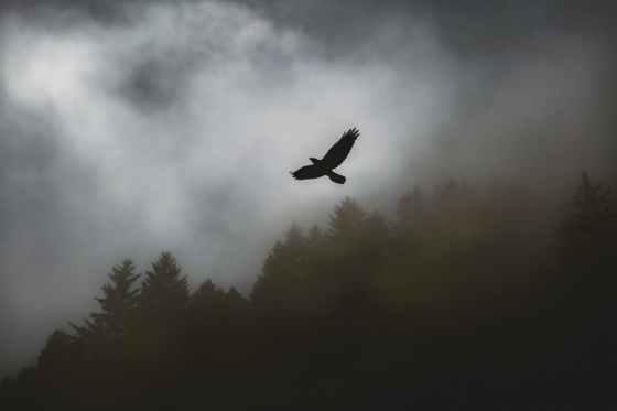 black hawk soaring