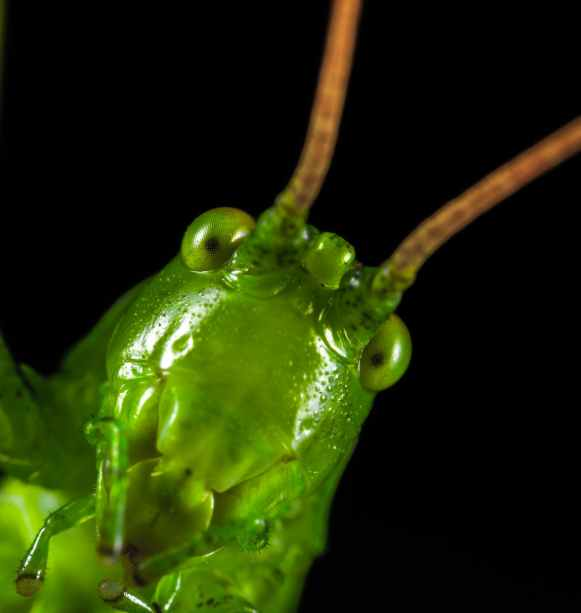 closeup photography of green grasshopper